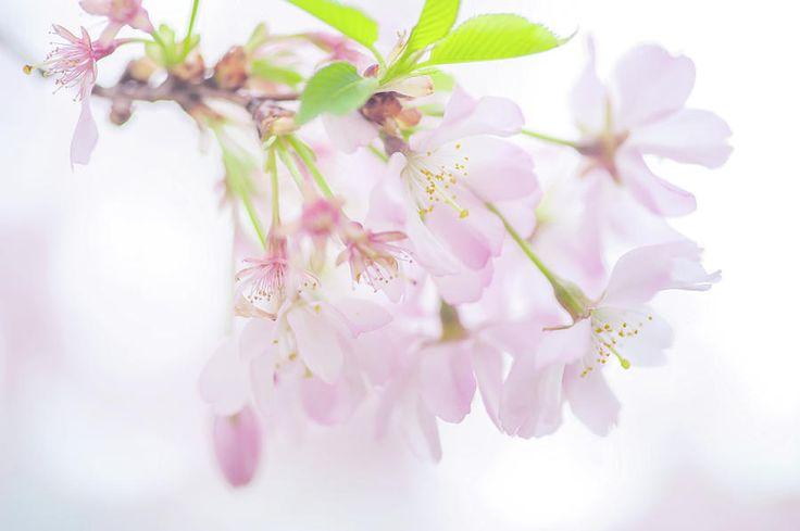 Pristine. Spring Pastels Photograph by Jenny Rainbow