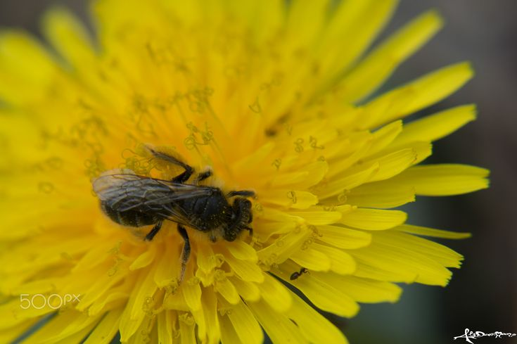 DIP IN YELLOW - An insect looking for pollen on a dandelion flower
