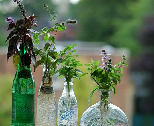 Herbs to start in water, herbs to start in soil