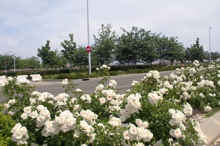 Rosas blancas en las calles de valdebebas valdebebas y for Ciudad jardin valdebebas