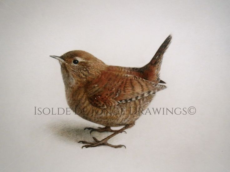 """Gjerdesmett"" (Wren) . Colour pencil and pencil on paper. 2015."
