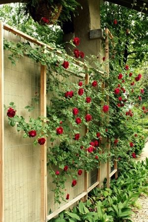 i will soon have a living Fence. Good way to keep neighbor's leaves out of my yard! Climbing Rose trellis
