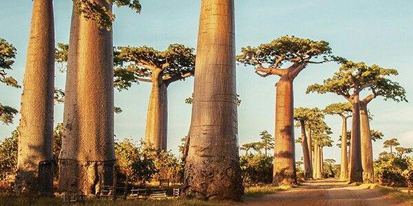 il leone se ne stava appisolato all'ombra del baobab...