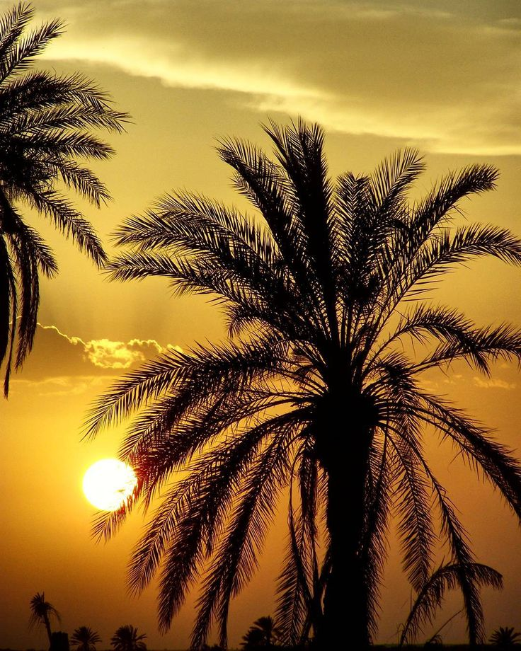 A beautiful palm  stands at the sunset  in the Sahara desert