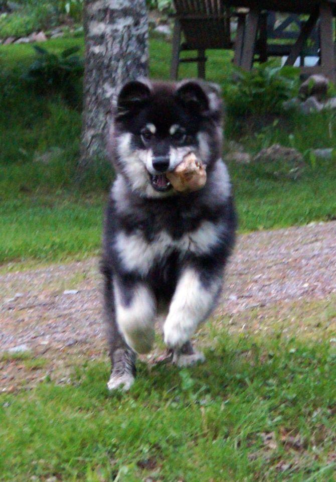 Finnish lapphund Louhi.