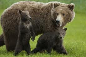Anne ile Yavru Boz Ayılar