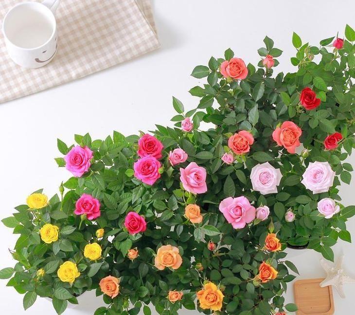 лягушки картинки с розами домашними древняя