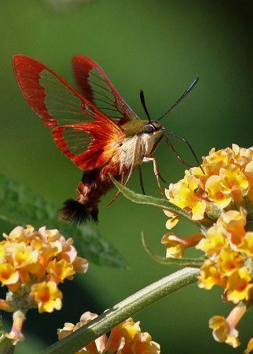 pollinating Hummingbird Clearwing moth, English Gardens, Winnipeg, Canada