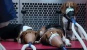 Against scientific experimentation on dogs (needs confirmation)