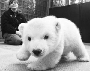baby polar bear! by johanna