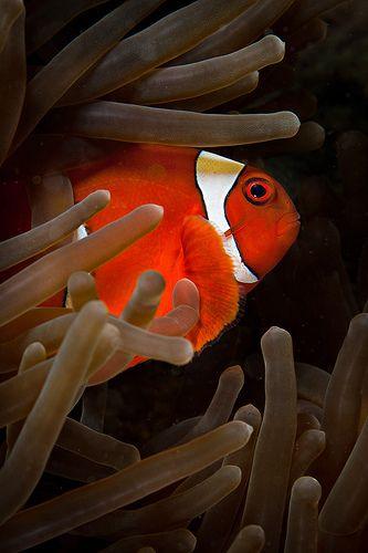 Bangka Spinycheek clownfish