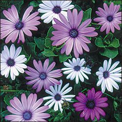 Osteospermum ecklonis, ballade mix. organic seed available at seed savers exchange
