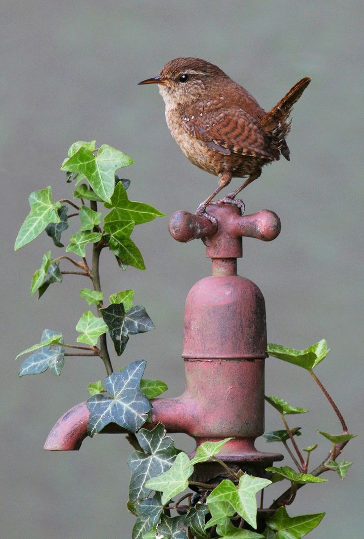 Peter Preece Wildlife Photographer - Wrens