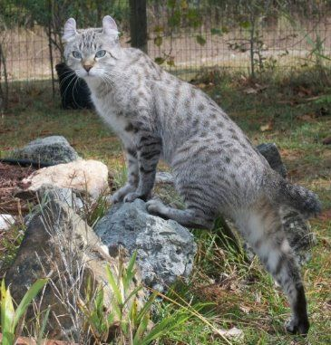 """HIGHLANDER CAT ~~~  Development of the breed began in 2004 and an early name for it was the Highland Lynx. No wild cat genes were used to develop the breed, rather the name refers to the desire to create a domestic cat with a powerful """"Big Cat"""" look. In 2005, the name Highlander was decided on for this unique breed of cat. Pictured is a Highland Lynx. Her name is Sass and she belongs to SherBobs Exotic Cats in NC. You can see her on their website at www.SherBobsExoticCats.com."""