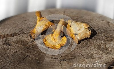 CHANTERELLE WOOD SURFACE -    Natural  golden chanterelle mushrooms placed on wood surface.  Download From Over 25 Million High Quality Stock Photos, Images, Vectors. Sign up for FREE today. Image: 43009337