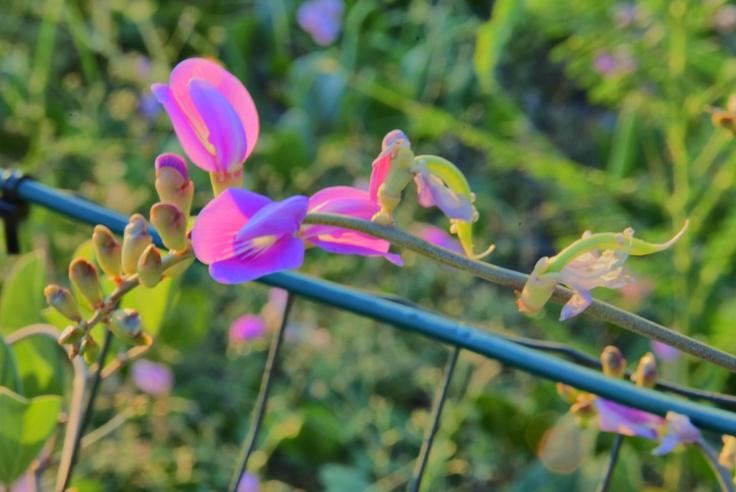 Wild broad bean flower