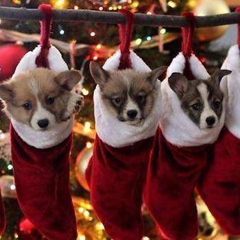 kerstsokken met puppies