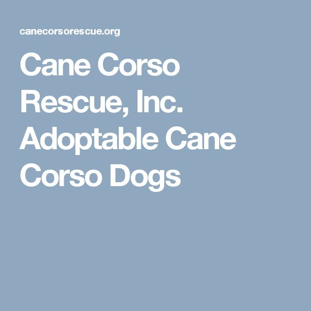 Cane Corso Rescue, Inc. Adoptable Cane Corso Dogs