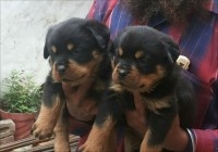 Rottweiler Puppies for sale Jaipur