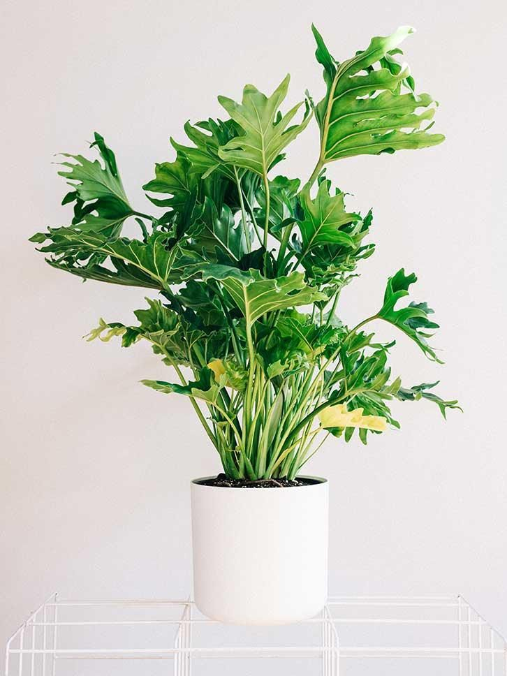 23 best Philodendron selloum images on Pinterest | Houseplants ...