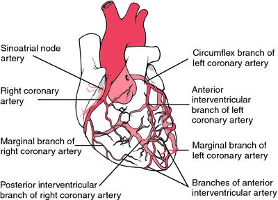 1000 images about coronary arteries on pinterest calcium  : heart artery diagram - findchart.co