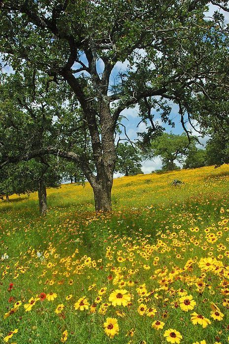 The Meadow ~ Golden Hillside