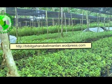 Bibit Gaharu (aquilaria malaccensis)anakan,biji penajam paser utara/ pen...