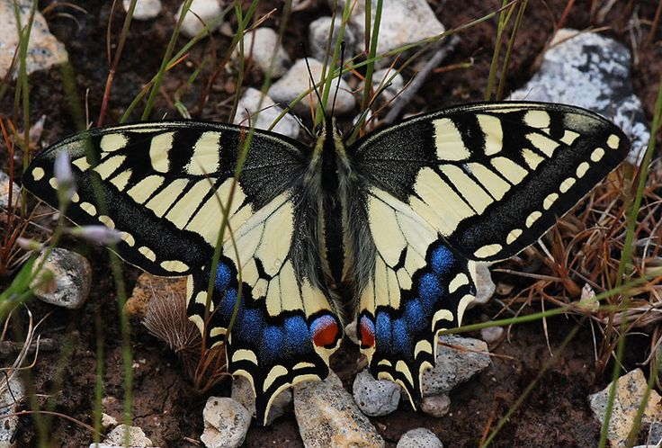 Papilio machaon syriacus_02