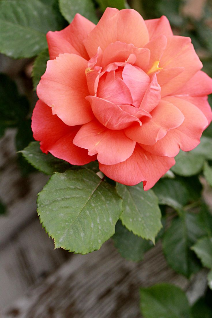 china rose nature pinterest rose blumen rosen und. Black Bedroom Furniture Sets. Home Design Ideas