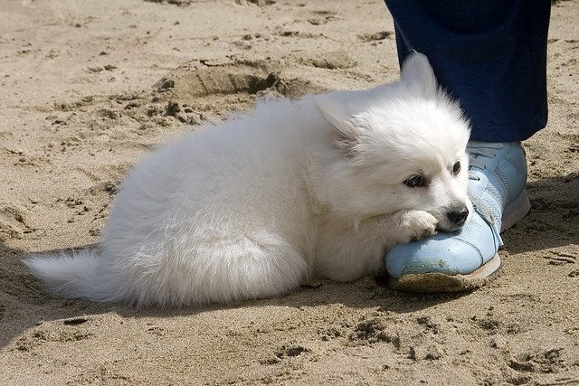 American Eskimo puppy. Aww!