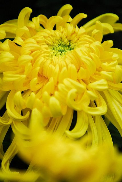 1000+ images about Color - Yellow on Pinterest | Yellow ... Yellow Chrysanthemum Flower