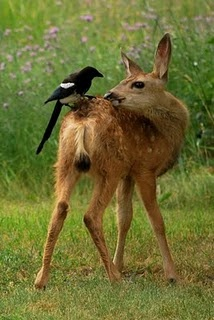 Fawn and magpie, Montana-This photograph reminds me of the animated pic of