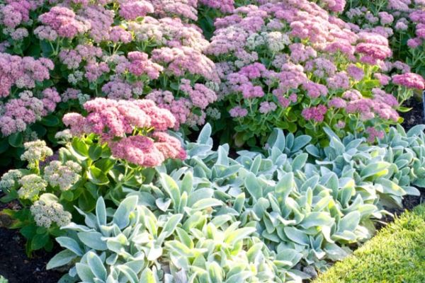 Garden ideas, Border ideas, Plant Combinations, Flowerbeds Ideas, Summer Borders, Fall borders, Asters, Michaelmas Daisies, Stachys Byzantin...