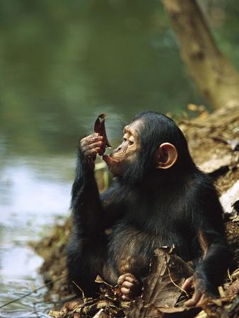 love chimps <3