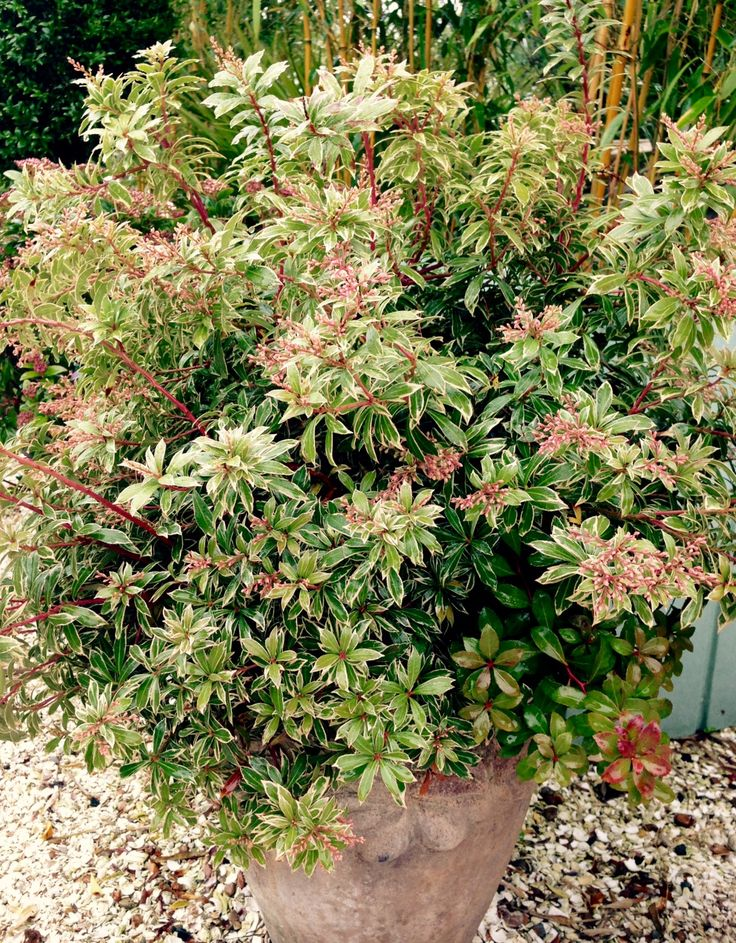 Pieris japonica 'Blush' is a hardy, evergreen shrub with deep pink buds opening into bell-shaped pink flowers in late winter/spring. Available in a 10 litre pot. http://www.athelasplants.co.uk/product/pieris-blush/