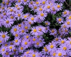 Gösterişli görünümüyle Saraypatı'nın çiçekleri Sonbahar mevsiminde kendini göstermeye başlar. Güneşli ve ışıklı yerleri seven Saraypatı sonbaharda bahçe ve balkonlarınıza renk katacak bir bitki.