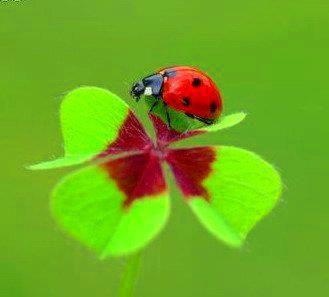 Ladybug and clover 4 rubble lucky :)
