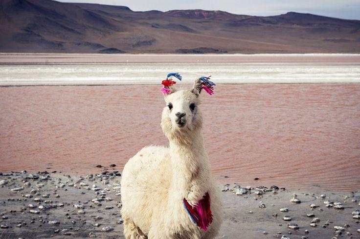 À 4 260 mètres d'altitude, les pattes dans le lac salé Laguna Colorado (Bolivie), ce lama ignore les vents forts qui fouettent son pelage - National Geographic France