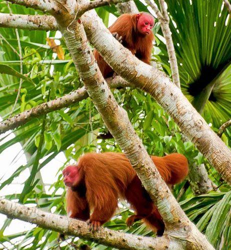 144 besten primates new world red uakari cacajou calvus bilder auf pinterest primaten. Black Bedroom Furniture Sets. Home Design Ideas