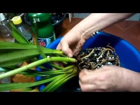 Fazendo adubo caseiro em trouxinhas para Orquídeas - YouTube