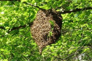 Il miele grezzo rappresenta una speranza contro i «super germi» resistenti ai farmaci. A dire la verità era una cura già in uso tra gli uomini preistorici, ma anche i nostri scienzuati l'hanno verificata, e funziona. Uno studio, pubblicato dall'inglese Wound Journal, spiega con dati eloquenti che molti batteri resistenti a forti famaci, soccombono al […]