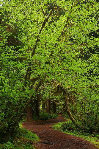 Trail At The Hoh Rainforest, Olympic National Park, WA