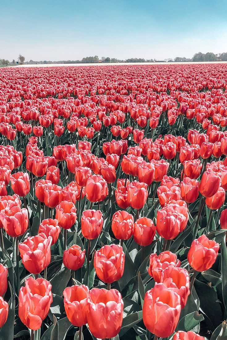 12 Best Things To Do In Rotterdam Netherlands In 2020 Tulip Fields Flower Aesthetic Tulips Flowers
