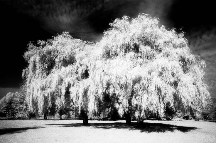 willow in moonlight - Google Search