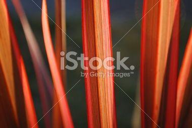 Sunlit Harakeke Leaves (NZ Flax) Royalty Free Stock Photo