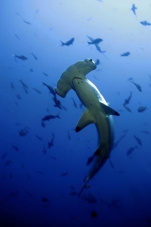 68 best diving isla del coco images on pinterest costa for Shark tank fairy door