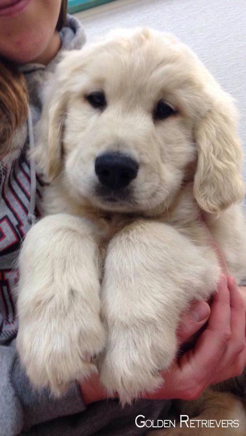 Más información sobre el confiable Golden Retriever Perros y niños #goldenretrievershirts …