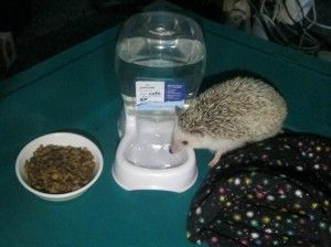 Petmate's Cafe Waterer is the perfect size for my hedgehog and keeps him from being able to spill it all over his cage. Click through for full review.