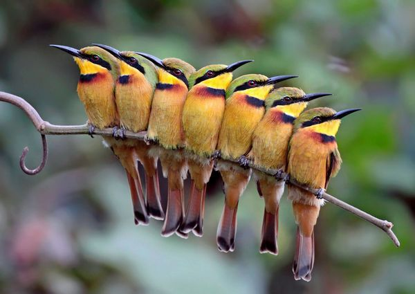 These seven little bee-eaters, indigenous to Sub-Saharan Africa, are a tight-knit group, proving that birds of a feather stick together.