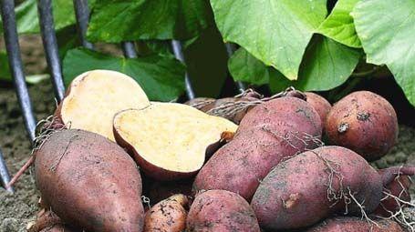 Süßkartoffel: gesunder Exot - Mein schöner Garten